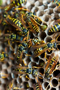 Home Maintenance Tip: How to Get Rid of Yellow Jackets