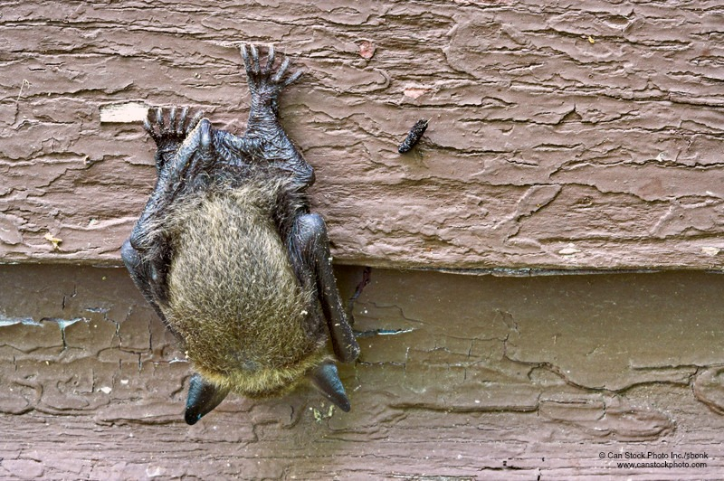 Home Maintenance Tip: Keep Bats Out of Your Attic