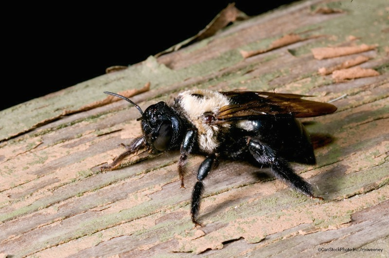 Home Maintenance Tip Prevent Carpenter Bee Damage To Your